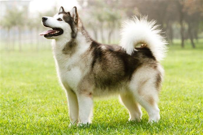 Hoe lang is een hond loops