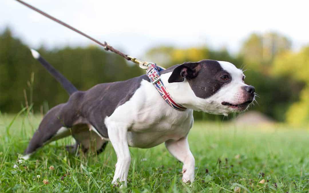 Hond leren wandelen zonder trekken