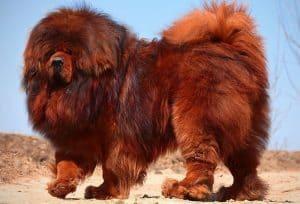 tibetaanse mastiff prijs kosten uiterlijk persoonlijkheid en train
