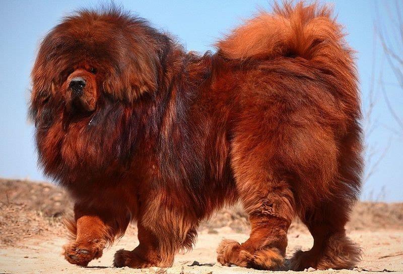 Duurste hond ter wereld