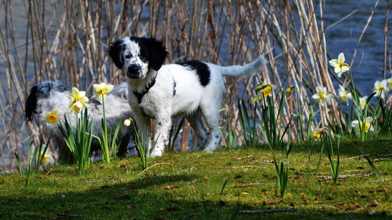 Friese Stabij puppy