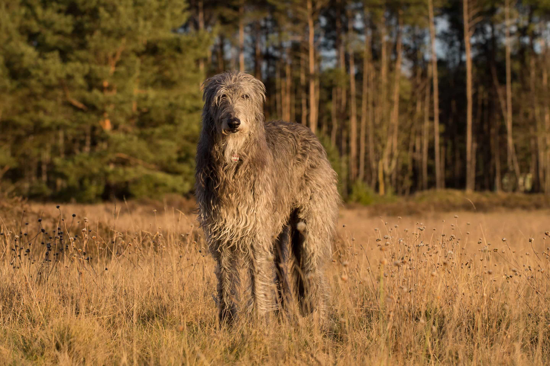 Scottish deerhound scaled