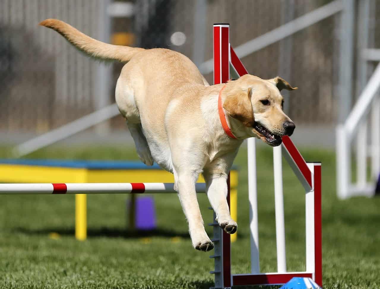 Behendigheid hond