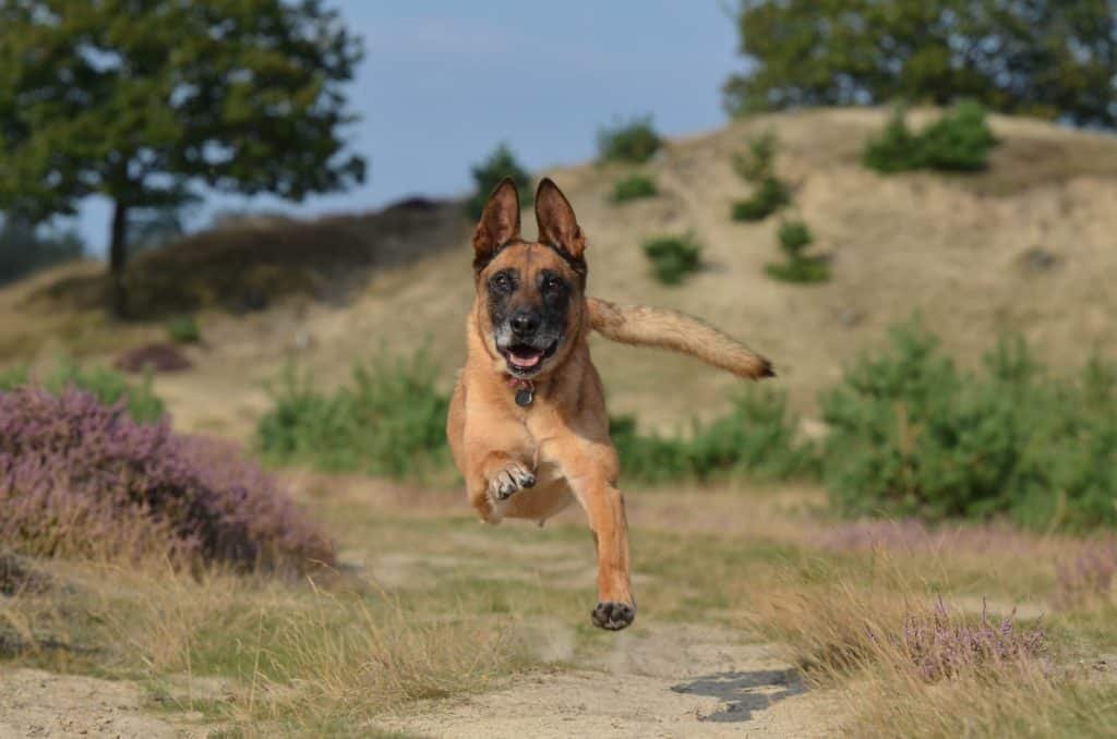 hondenfluit