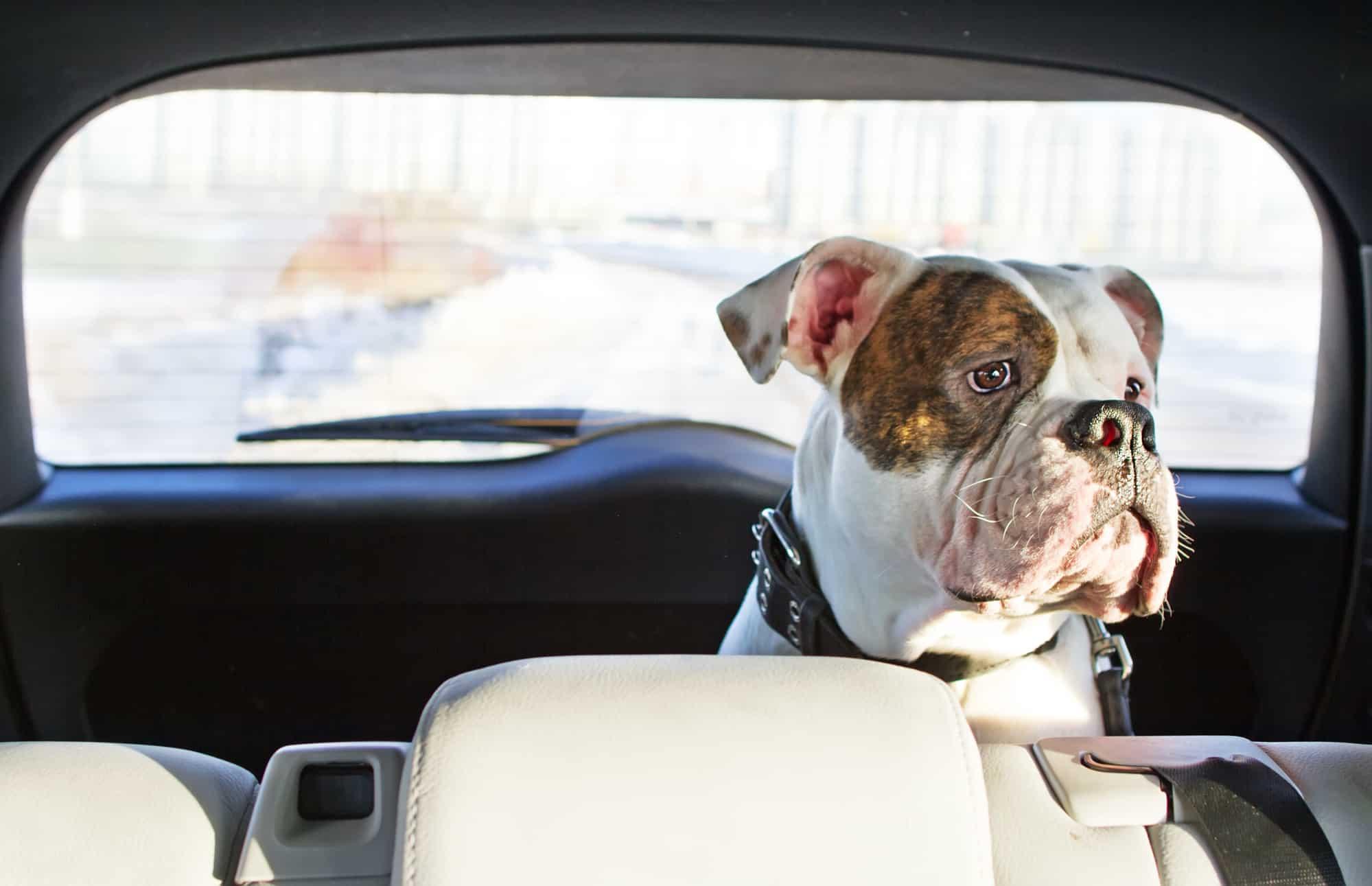 Autodeken hond