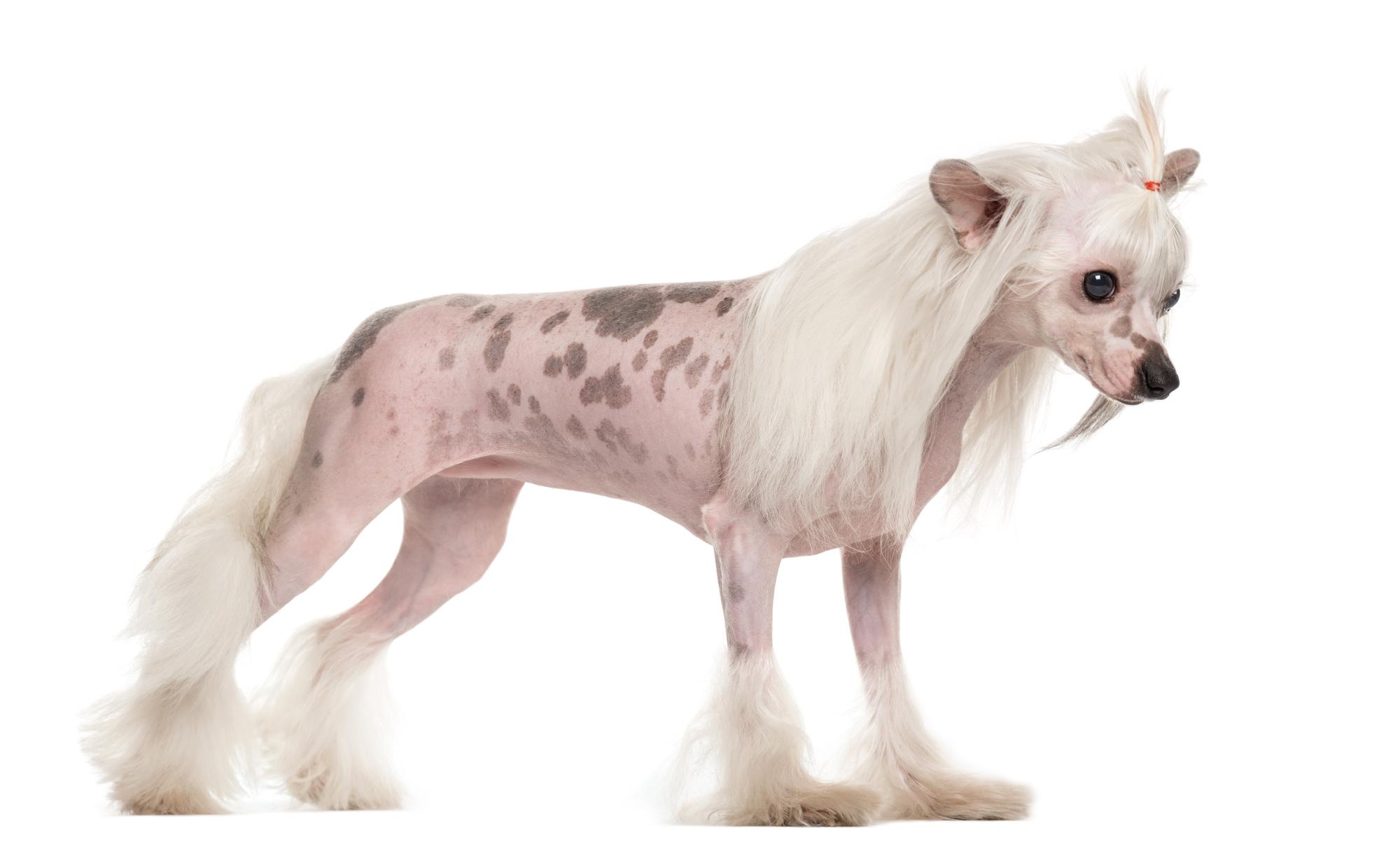 Chinese gekuifde naakthond