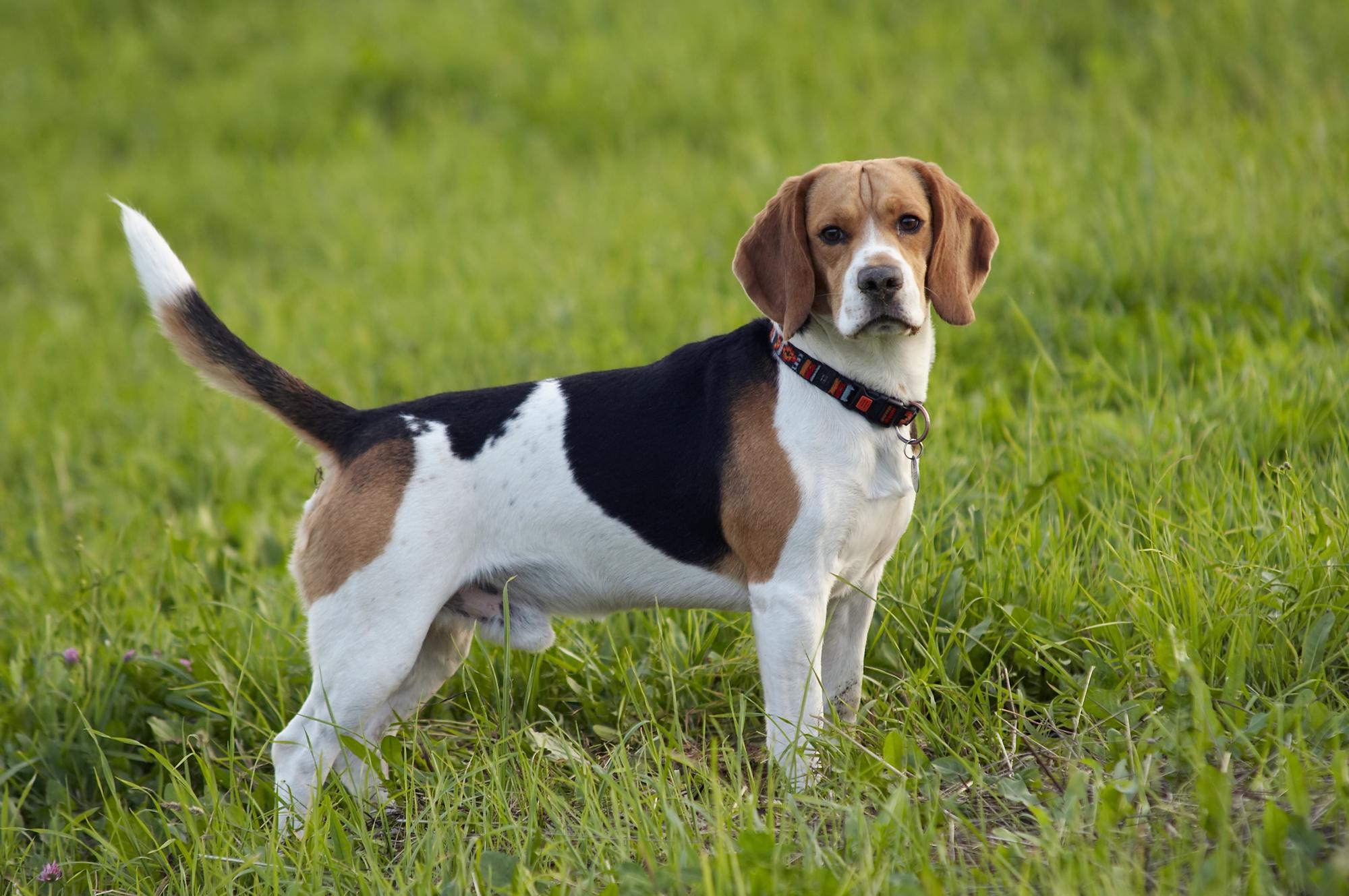 Beagle honden