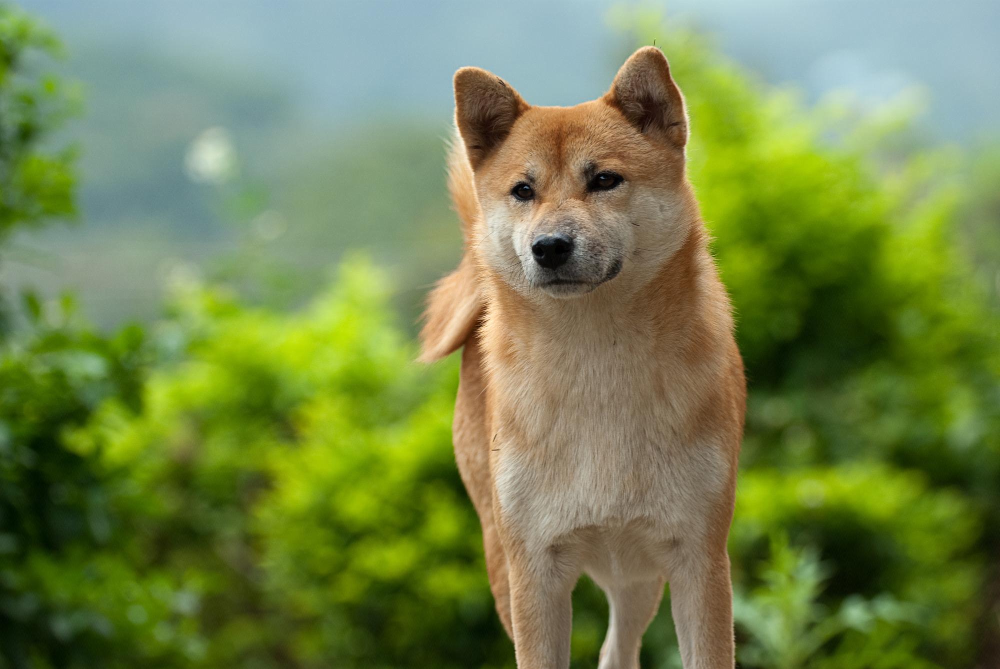 Shiba hond